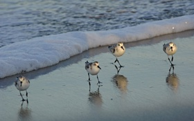 Обои песок, волна, Птички