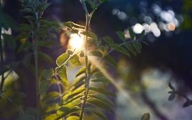 Обои листья, солнце, растение, солнечные лучи