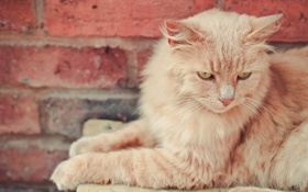 Картинка кошка, взгляд, кошак, пушистая