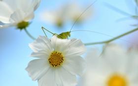 Картинка цветок, природа, кузнечик