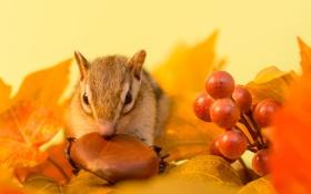 Обои осень, листья, ягоды, веточка, орех, бурундук
