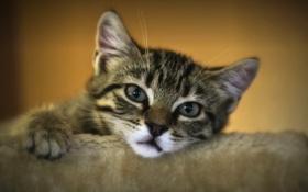 Картинка взгляд, мордочка, грустный взгляд, котёнок