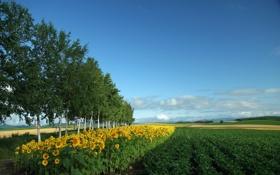 Обои зелень, поле, подсолнухи, берёза, берёзы