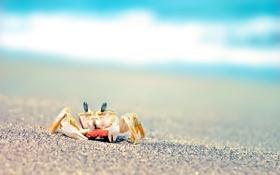 Обои песок, море, макро, краб
