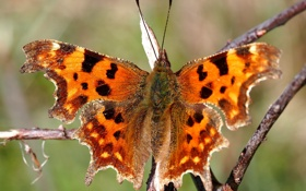 Обои веточка, фон, бабочка, размытость, насекомое, разноцветная