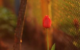 Картинка цветок, фон, тюльпан