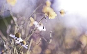 Картинка макро, цветы, природа, ромашки