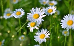 Картинка поле, трава, ромашки, весна, ярко