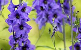 Обои цветы, природа, нежность, голубые, синие, дельфинум