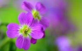 Обои природа, цветок, соцветие, лепестки