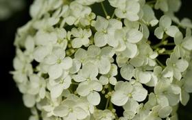 Обои белый, цветок, гортензия, соцветие