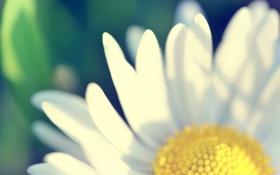 Обои цветок, макро, лепестки, ромашка