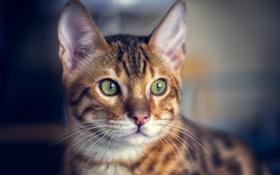 Обои кот, взгляд, морда, бенгальский