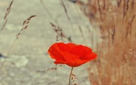 Обои цветок, красный, мак