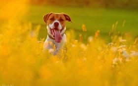 Обои лето, взгляд, друг, собака