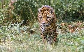 Картинка дикая кошка, ягуар, прогулка, заросли, зоопарк, хищник