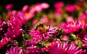Обои пчела, осень, макро, цветы