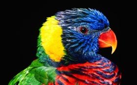 Обои Птица, попугай, перья