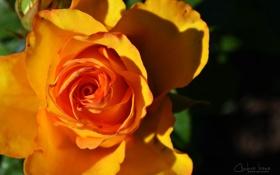 Обои лето, макро, роза, лепестки, арт, ярко, macro