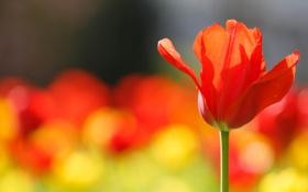 Картинка природа, цветок, тюльпан