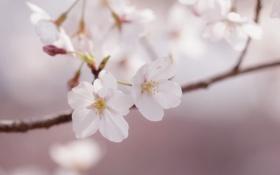 Картинка весна, розовые, сакура, лепестки, веточка, макро, нежность