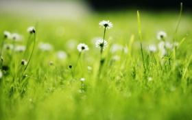 Обои поле, трава, природа, стебли, лепестки, размытость, маргаритки