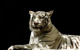 Обои морда, свет, тень, хищник, белый тигр, дикая кошка, тёмный фон
