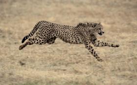 Обои бег, гепард, семейство кошачьих
