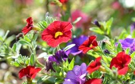 Картинка сад, листья, лепестки, петуния