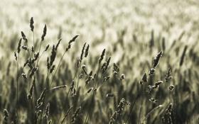 Обои поле, макро, природа, фото, поля, колоски, колосья