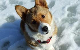 Обои снег, собака, забавная