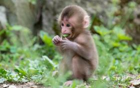 Обои детеныш, малыш, обезьяна, трава