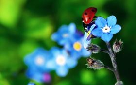 Картинка цветок, божья коровка, растение, насекомое, жук, лепестки