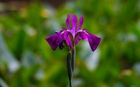 Обои зелень, цветок, фиолетовый, ирис