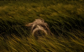 Картинка трава, взгляд, морда, ветер, собака