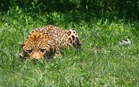 Картинка трава, морда, хищник, леопард, притаился