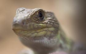 Обои iguana, фон, природа