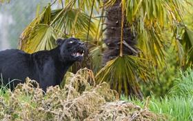 Обои кошка, трава, взгляд, чёрный, ягуар, ©Tambako The Jaguar