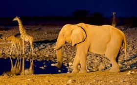 Обои жираф, Намибия, Etosha National Park, слон, Африка, водопой
