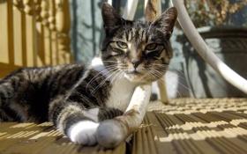 Обои кошка, кот, усы, ножка стола