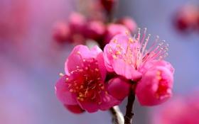 Обои цветок, ветка, лепестки, сад