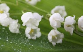 Обои роса, белое, нежность, зелёное, ландыши