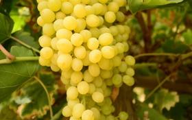 Картинка green, food, grapes