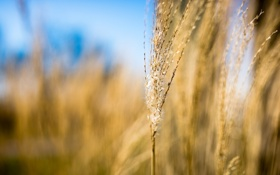 Картинка трава, макро, колосок