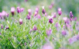 Обои зелень, трава, макро, цветы, полевые