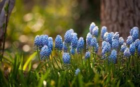 Обои цветы, голубые, гиацинты