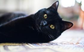 Картинка кошка, взгляд, животное, черный кот, смотрит