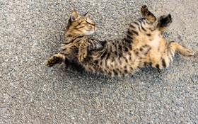 Картинка кот, фон, кошак, лежит, котяра