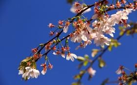 Картинка небо, цветы, дерево, ветка, весна, фруктовое