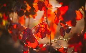 Картинка листья, дерево, ветка, красные